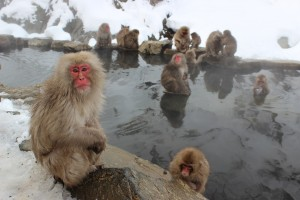 Snow monkeys are big fans of natural hot springs.